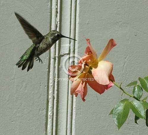 Hummingbirds in Corona  June 18 2013