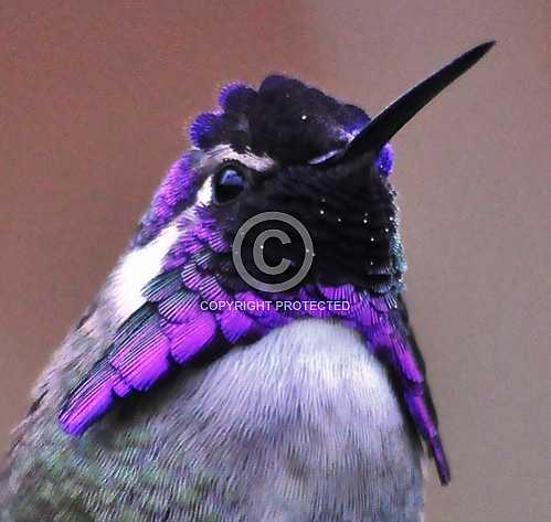 Hummingbirds in Palm Desert -- December 2012
