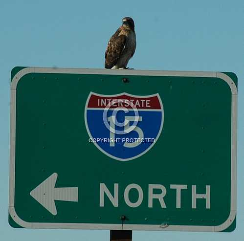 Red Tailed Hawk on Interstate 15 sign