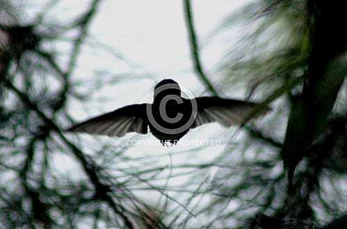 Hummingbird  May 2013